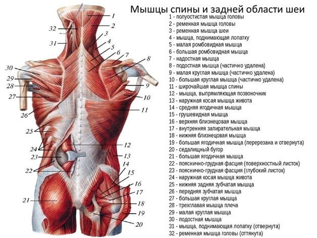 Почему болят мышцы спины и как это лечить. Почему болят мышцы спины и чем лечить?