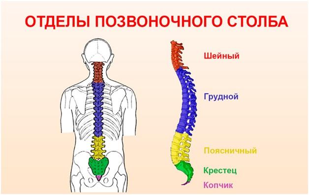 Где заканчивается шейный отдел позвоночника и начинается грудной