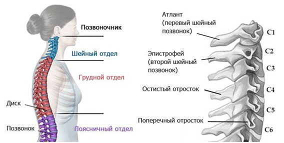 Грудной отдел позвоночника картинка со всеми сегментами